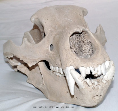 Anatomie de l'ours